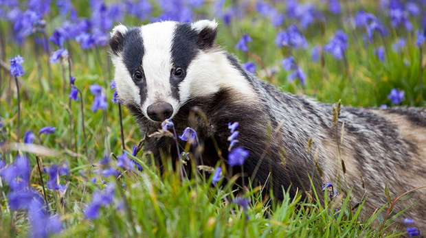 Male badger. Image (c) Seth Jackson