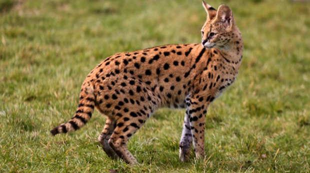 Xena serval