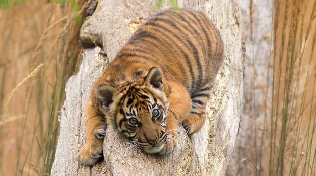 Sumatran tiger Achilles