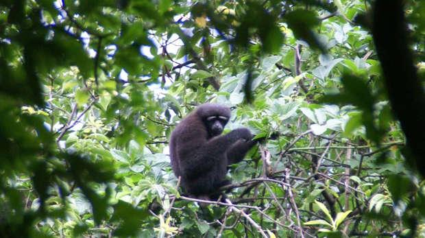 Male skywalker hoolock gibbon