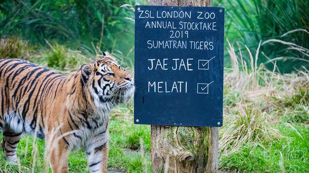 Sumatran tiger Jae Jae at ZSL London Zoo's annual stocktake