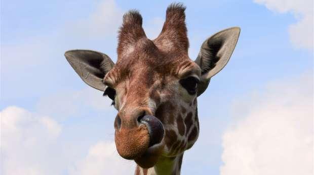 Luna the giraffe