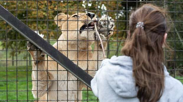 Meet the Lions at ZSL Whipsnade Zoo