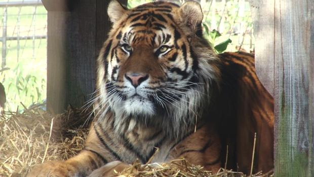 Jae Jae the Sumatran tiger at ZSL London Zoo