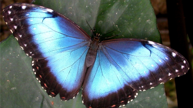 A blue Morpho peleides butterfly at Butterfly Paradise