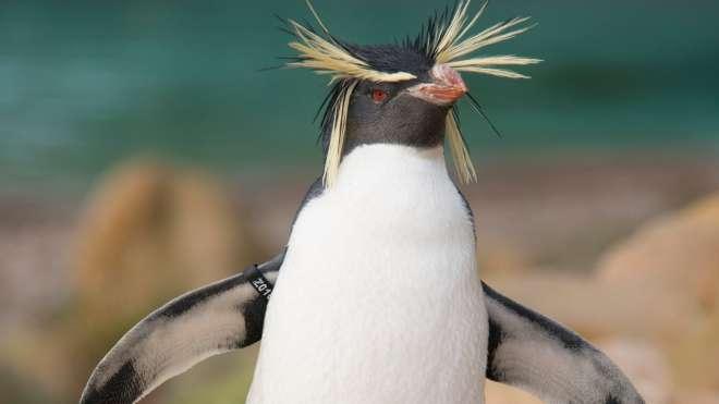 Ricky the penguin at ZSL London Zoo.