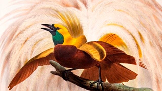 Birds of paradise, by Daniel Giraud Elliot 1873