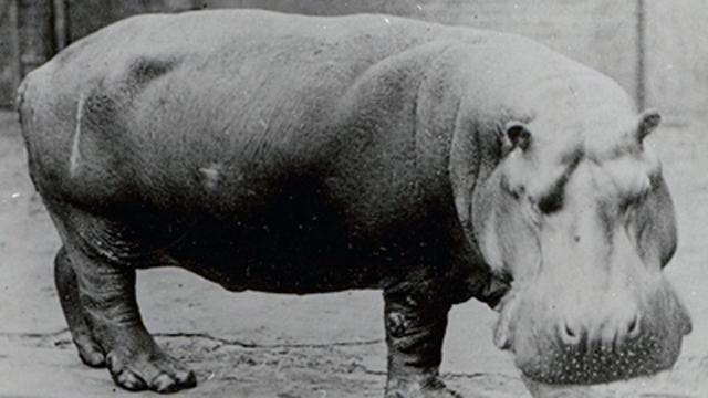 Obaysch, the common hippo, by Frederick York, circa 1870.