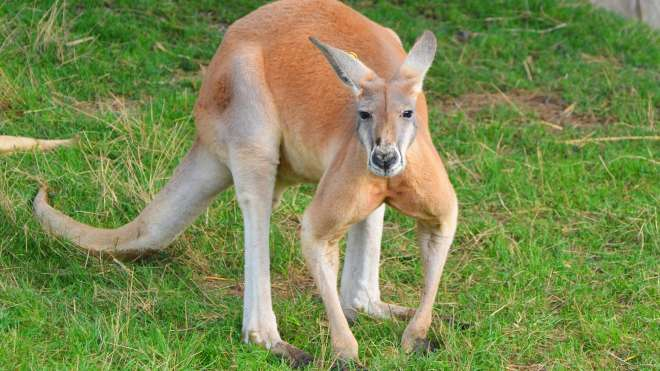 A red kangaroo at ZSL London Zoo.