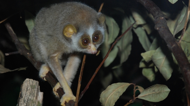 A slender loris at ZSL London Zoo in the night zone.