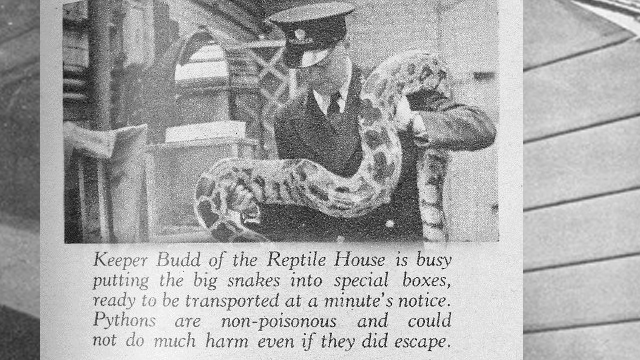 Snake keeper at ZSL London Zoo during World War II.