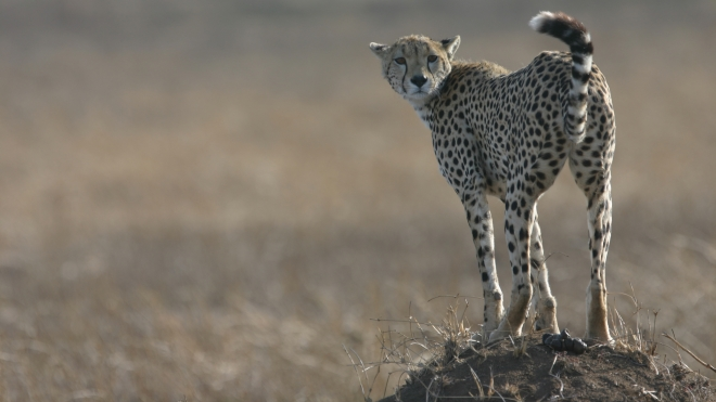 A Cheetah in the Serangeti in Tanzania, taken on conservation Programme's ongoing field work with Cheetahs.