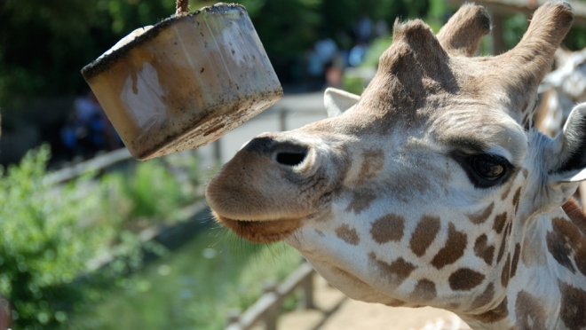 Giraffe eating ice