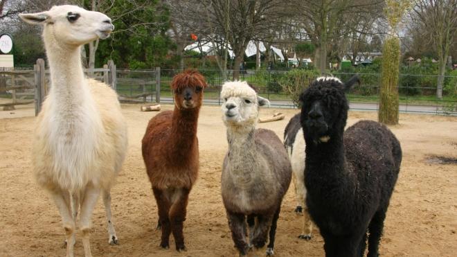 A group of llama at ZSL London Zoo
