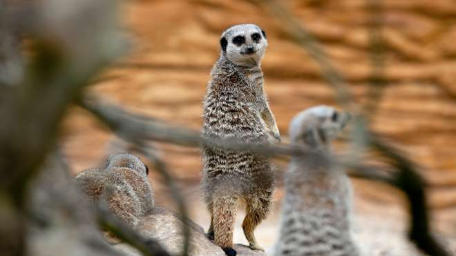 Meerkats at ZSL Whipsnade.