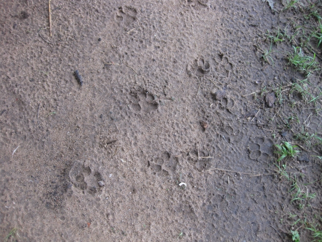 Hyena pawprints in sand