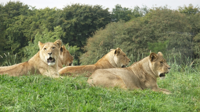 A pride of lions at ZSL Whipsnade Zoo