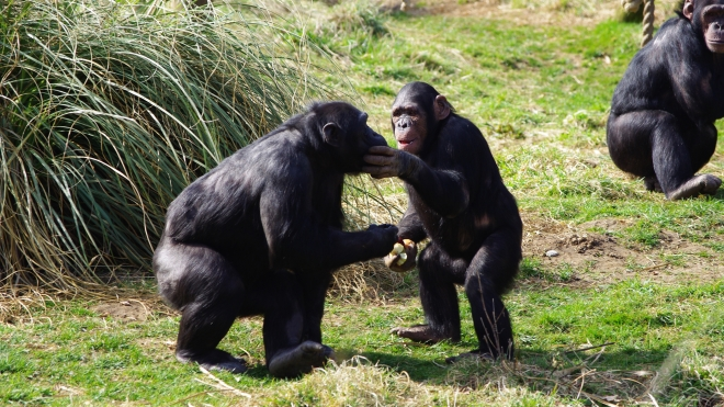 Elvis the Chimpanzee at ZSL Whipsnade Zoo