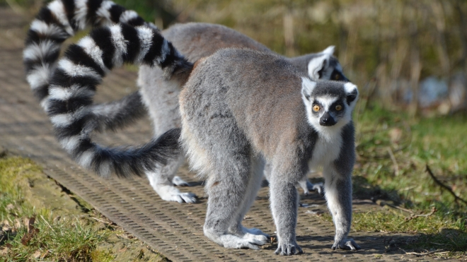 Ring Tailed Lemurs at ZSL Whipsnade Zoo