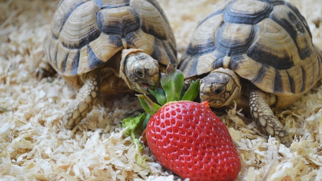 egyptian tortoises eating at ZSL Whipsnade Zoo