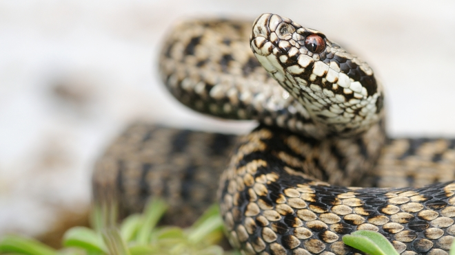 Female european adder
