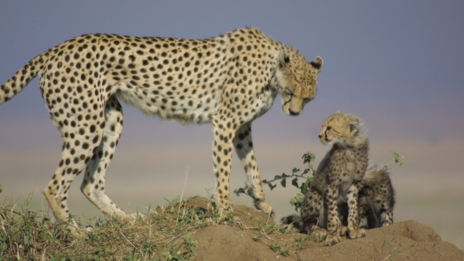 An Adult Cheetah and it's young, taken during the Institute of Zoology's ongoing Cheetah Conservation Program.