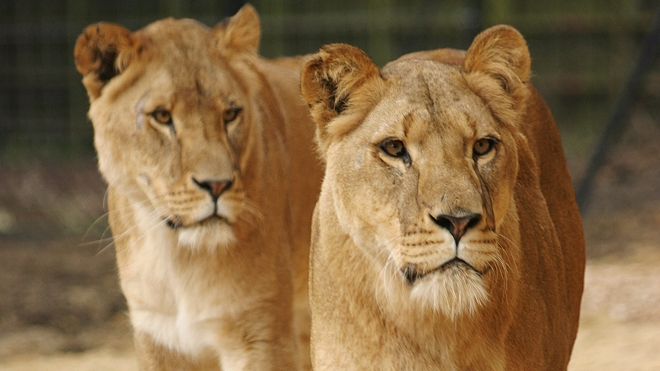 African lions at ZSL Whipsnade Zoo