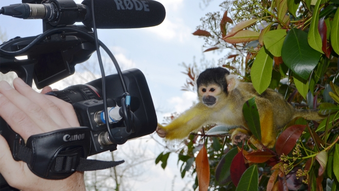 Squirrel monkey playing with camera
