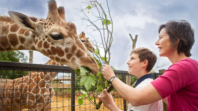 Meet the Giraffes at Whipsnade Zoo