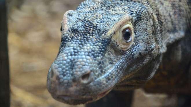 Ganas the Komodo Dragon