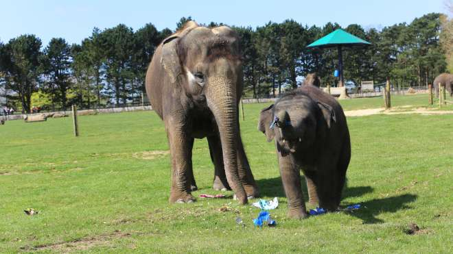 Scott the baby elephant playing with easter eggs with his Mum