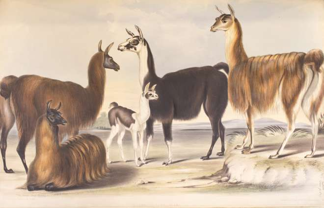 Lithograph of llamas at Knowsley Hall drawn from life December 1844  by B. Waterhouse Hawkins, Plate LI