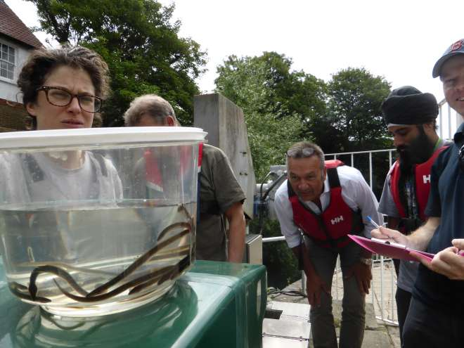 ZSL Citizen Scientists with eels on the River Brent in 2014