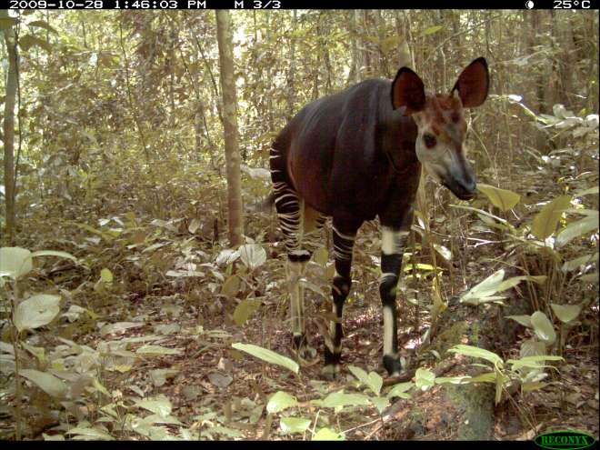 Okapi camera trap image ZSL-ICCN Virunga National Park