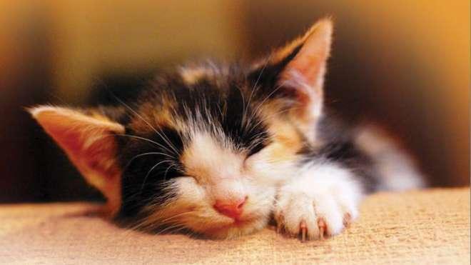 Petplan - kitten