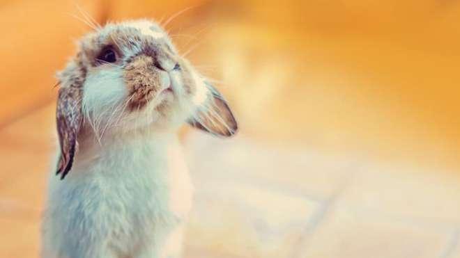 petplan - rabbit