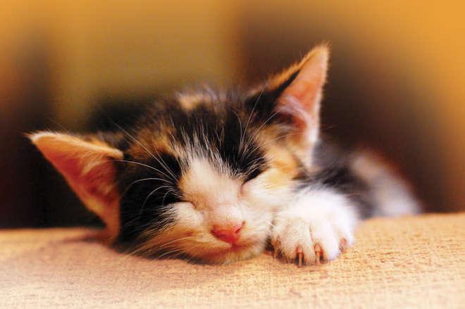 Petplan cat image
